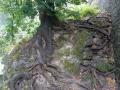 Hängende_Gärten_Buche.jpg