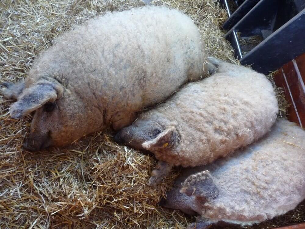 Das-blonde-Wollschwein (szöke mangalica)