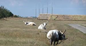 Graurinder in der Hortobágy Puszta