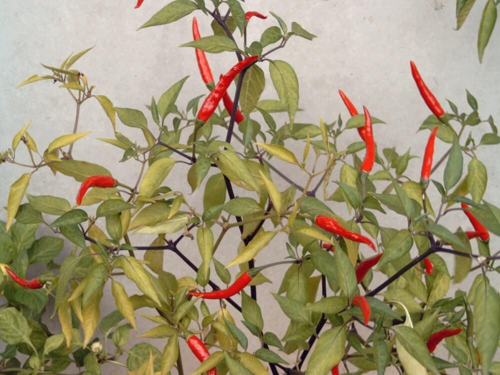 Gewürzpaprika an der Pflanze (Füszerpaprika)