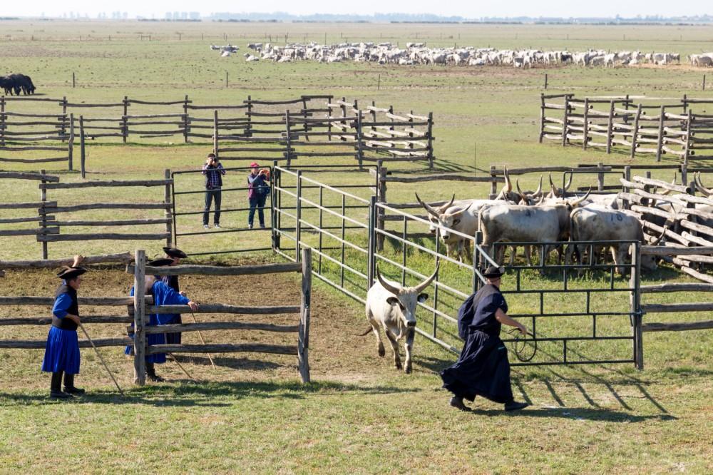 Graurindmarkt Hortobágy – der nächste Stier