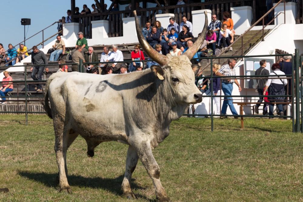 Graurind-Stier vor der Tribüne der Auktion