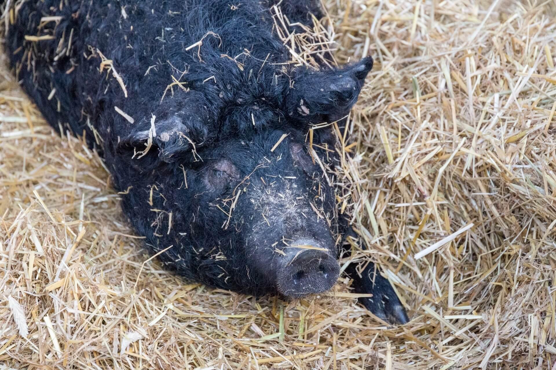 Schwarzes Wollschwein (Fekete Mangalica)