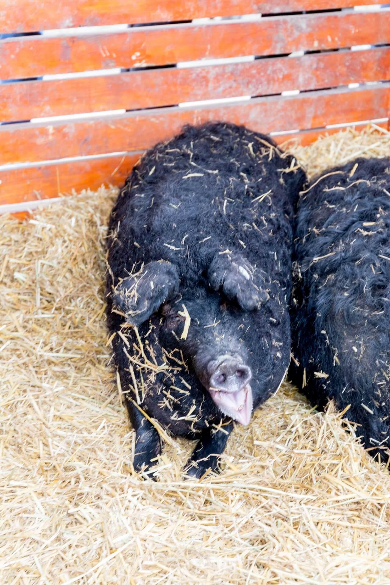 Schwarzes Wollschwein (Fekete Mangalica), lustig