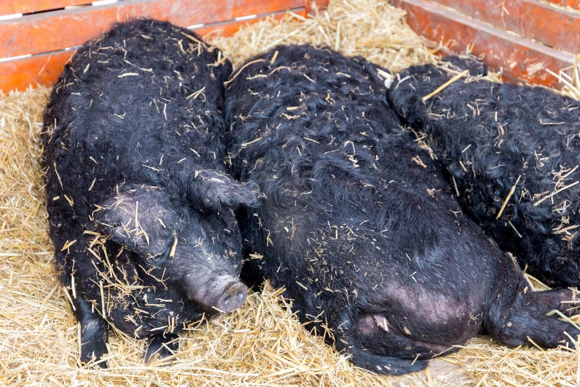 Schwarze Wollschweine (Fekete Mangalica), gesellig
