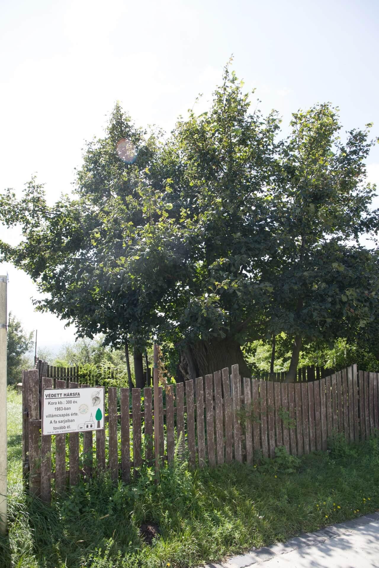 Geschützter Lindenbaum, Somlóvásárhely