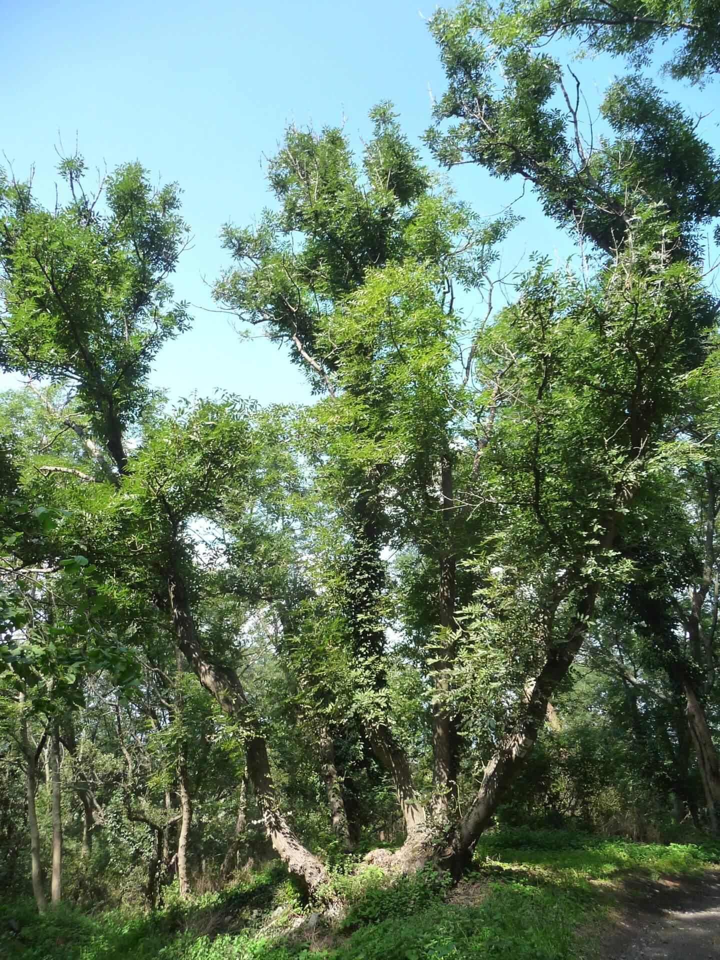 Im Wald auf dem Somló