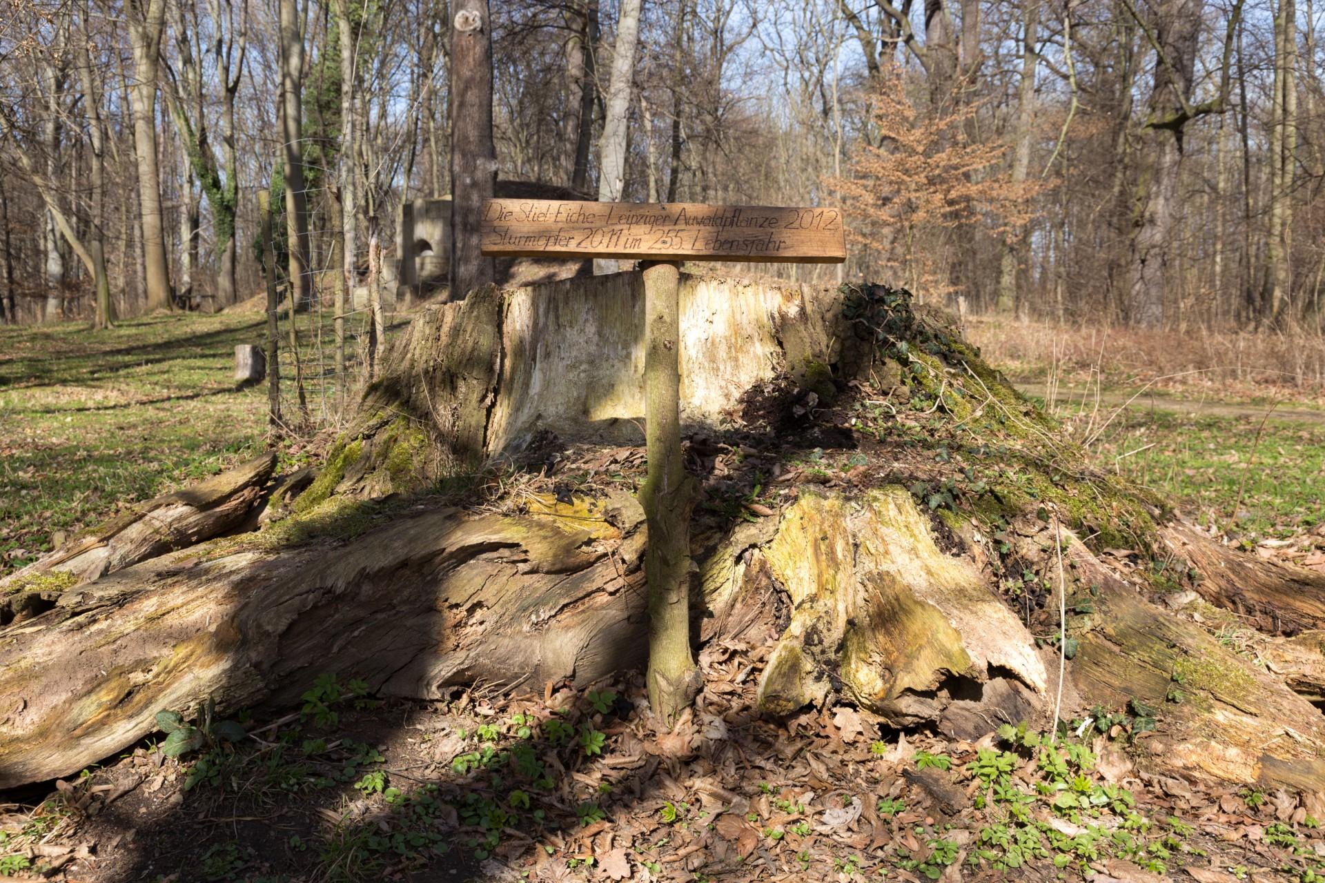 Stumpf einer Stieleiche, Schlosspark Lützschena