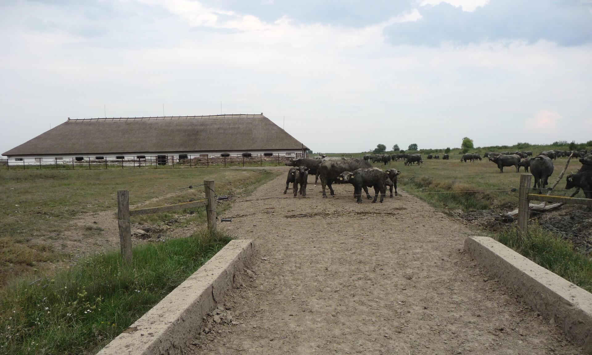 Büffel in der Hortobágy Puszta (4)