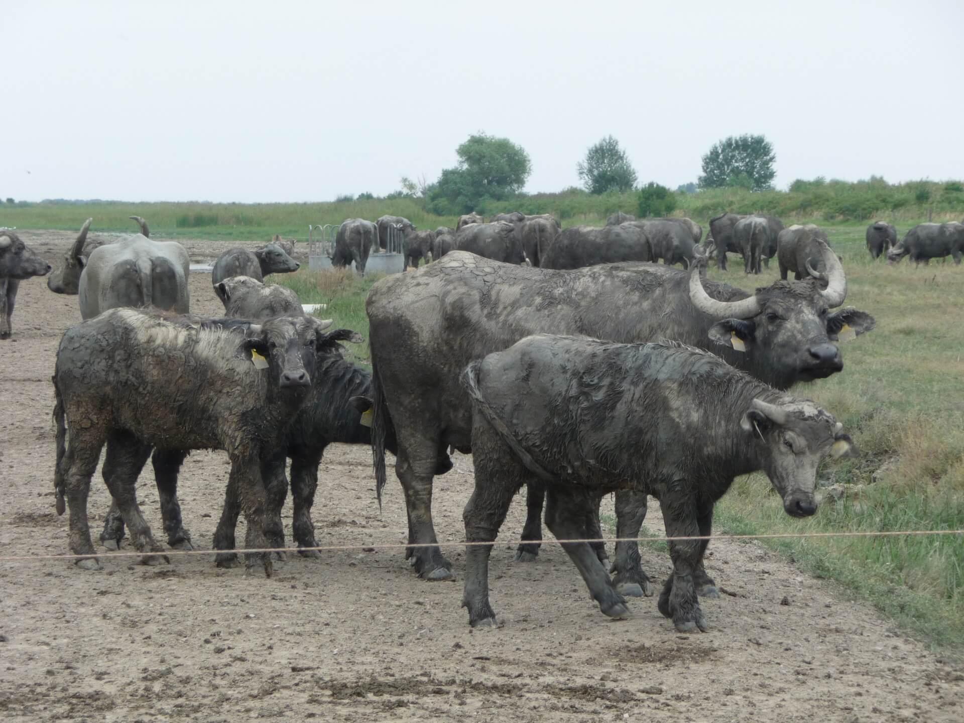 Wasserbüffel in der Hortobágy Puszta (3)