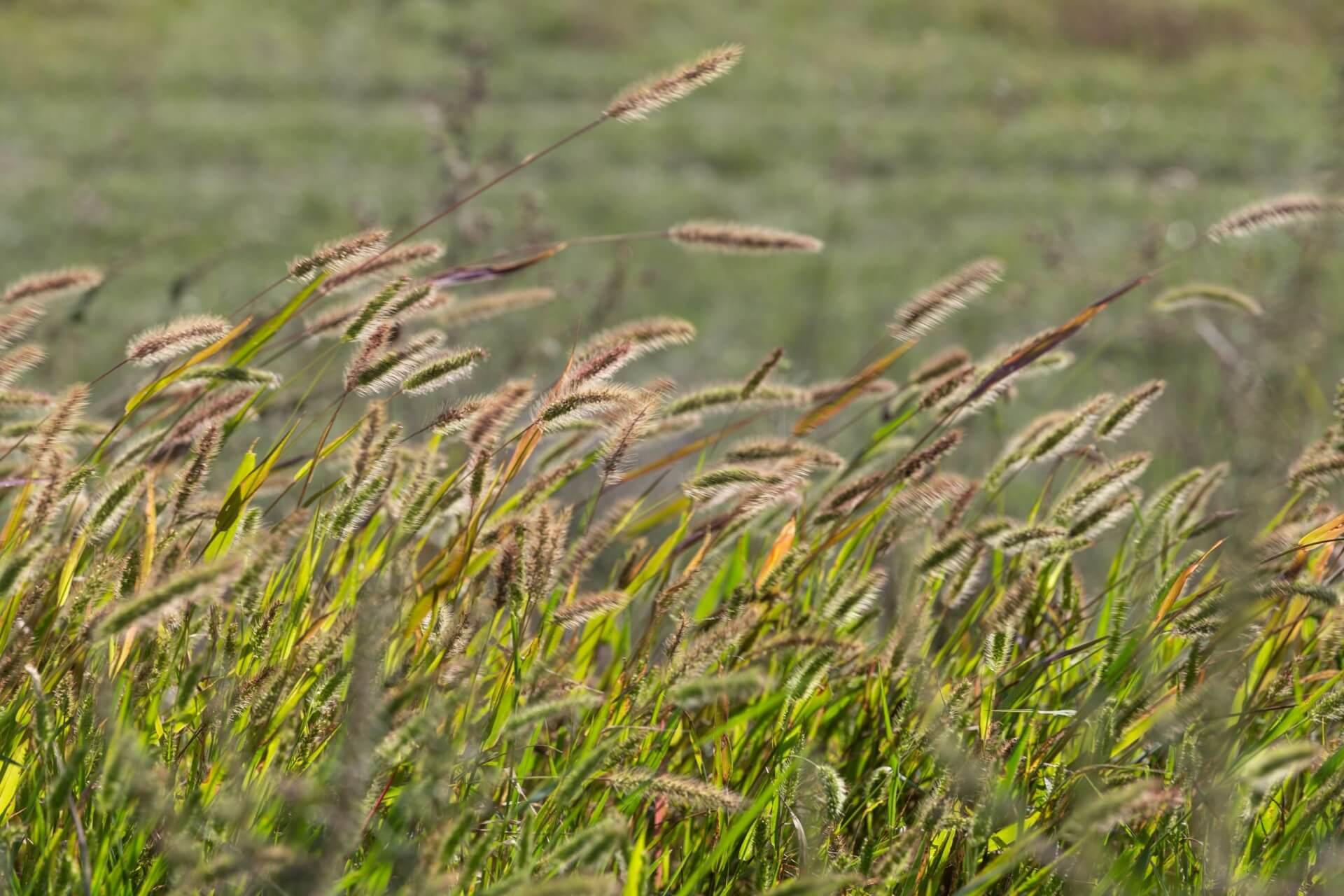 Gräser bei Bogyiszló