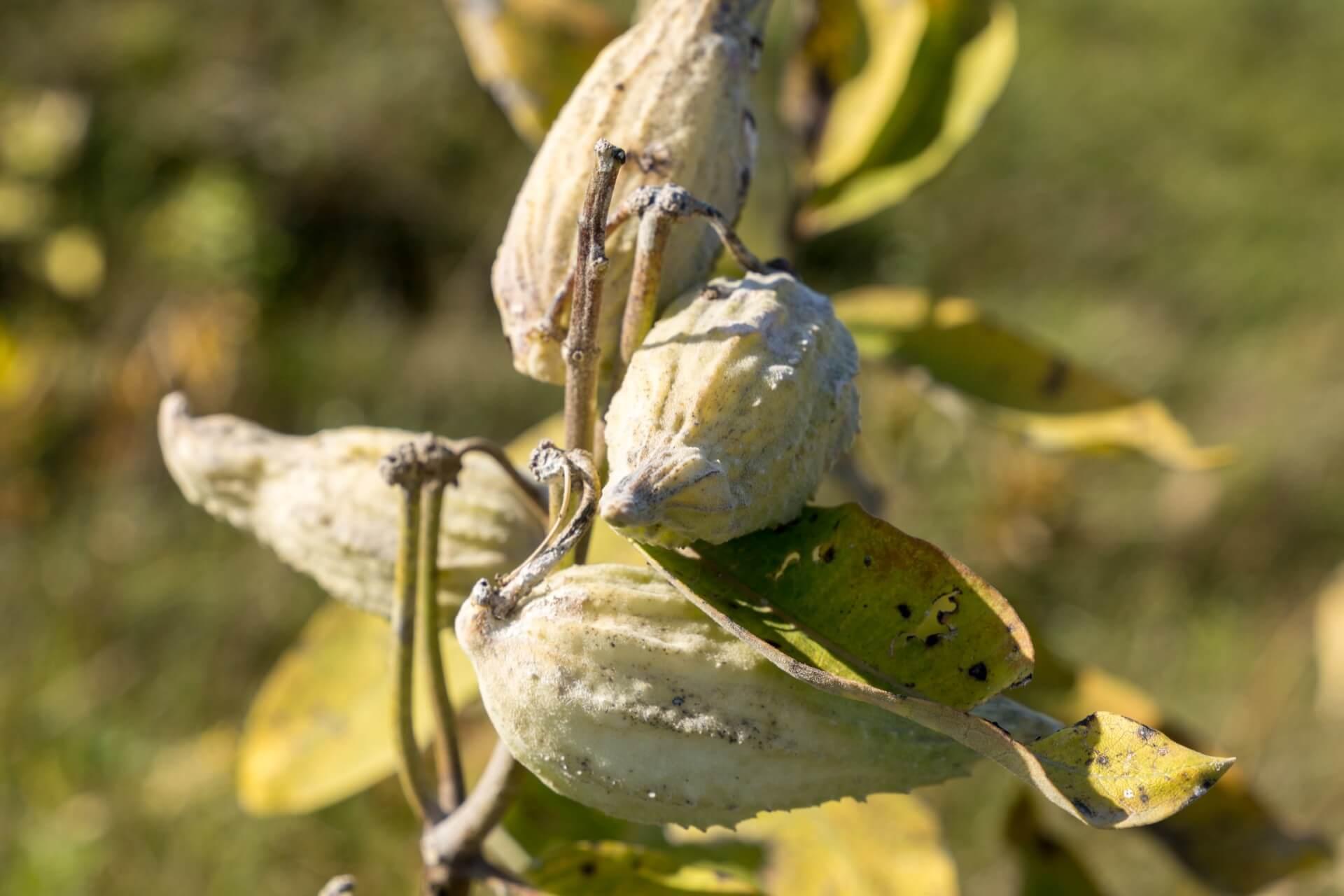 Samenstände der Seidenpflanzen