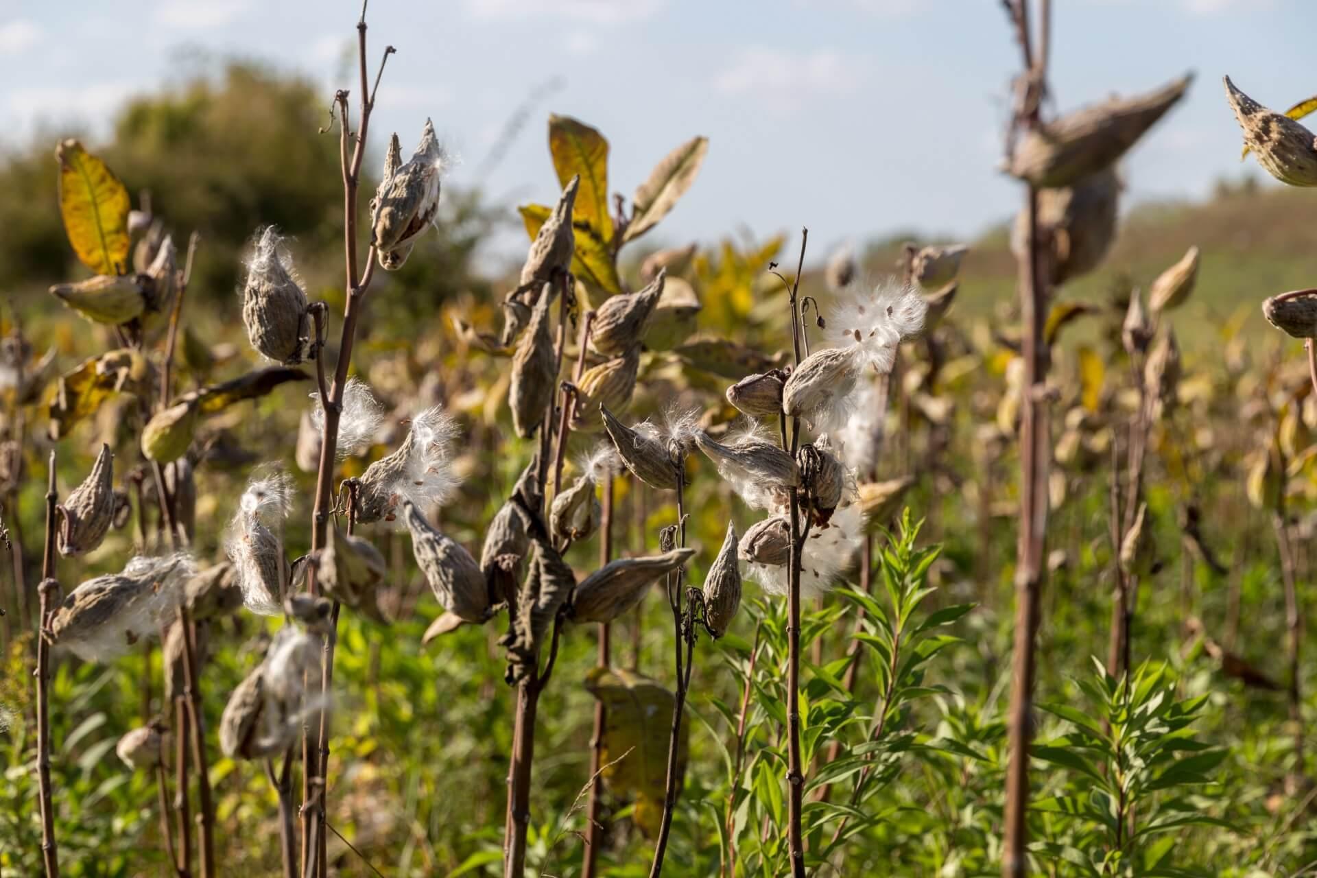 Seidenpflanzen bei Bogyiszló