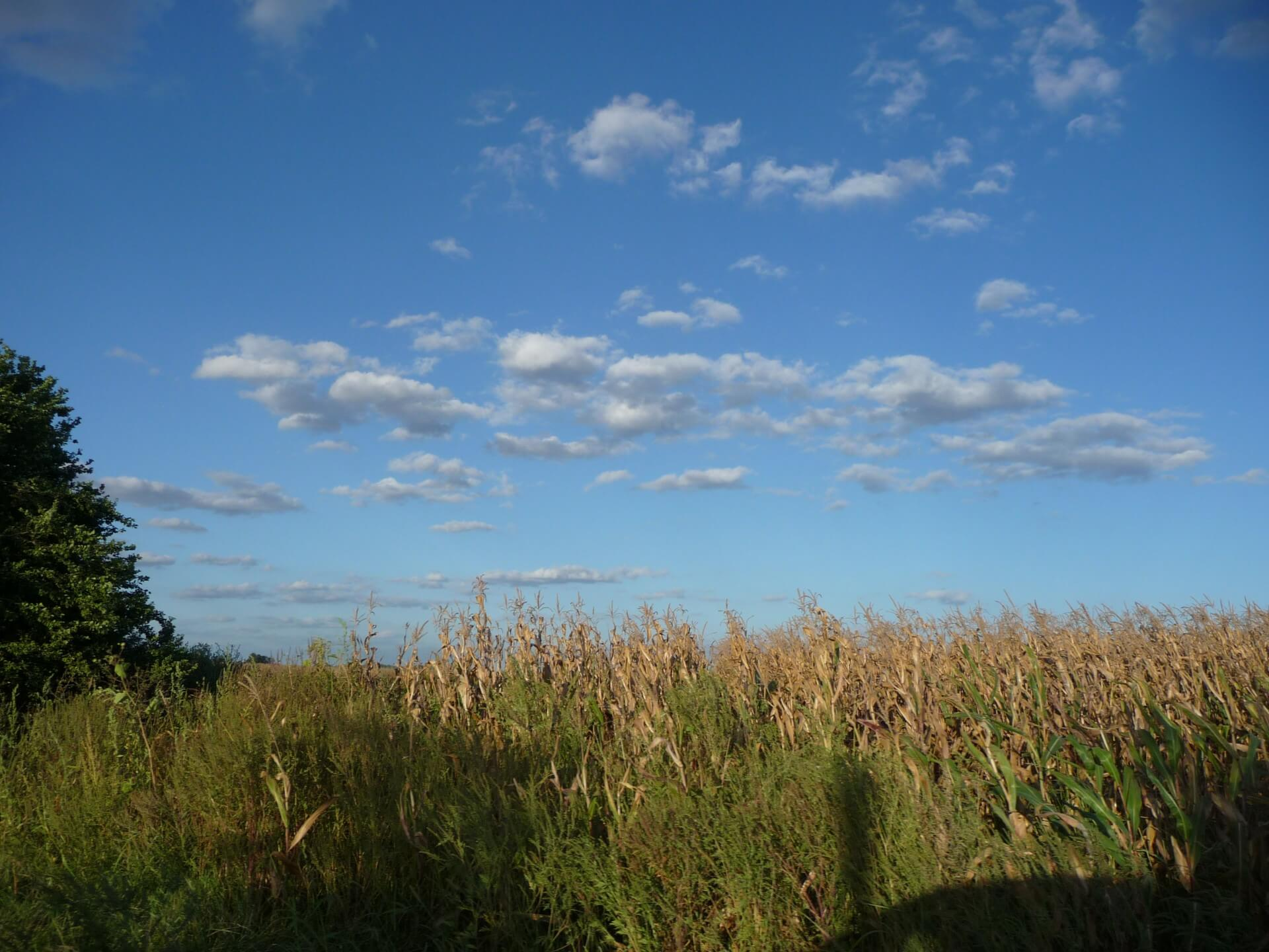 Maisfeld bei Bogyiszlo