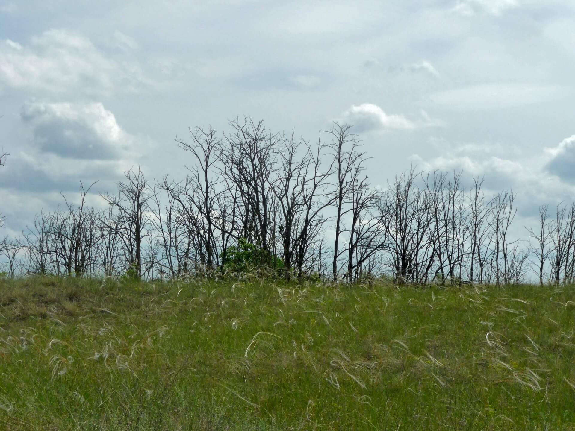 Abgestorbene Bäume bei Fülöpháza