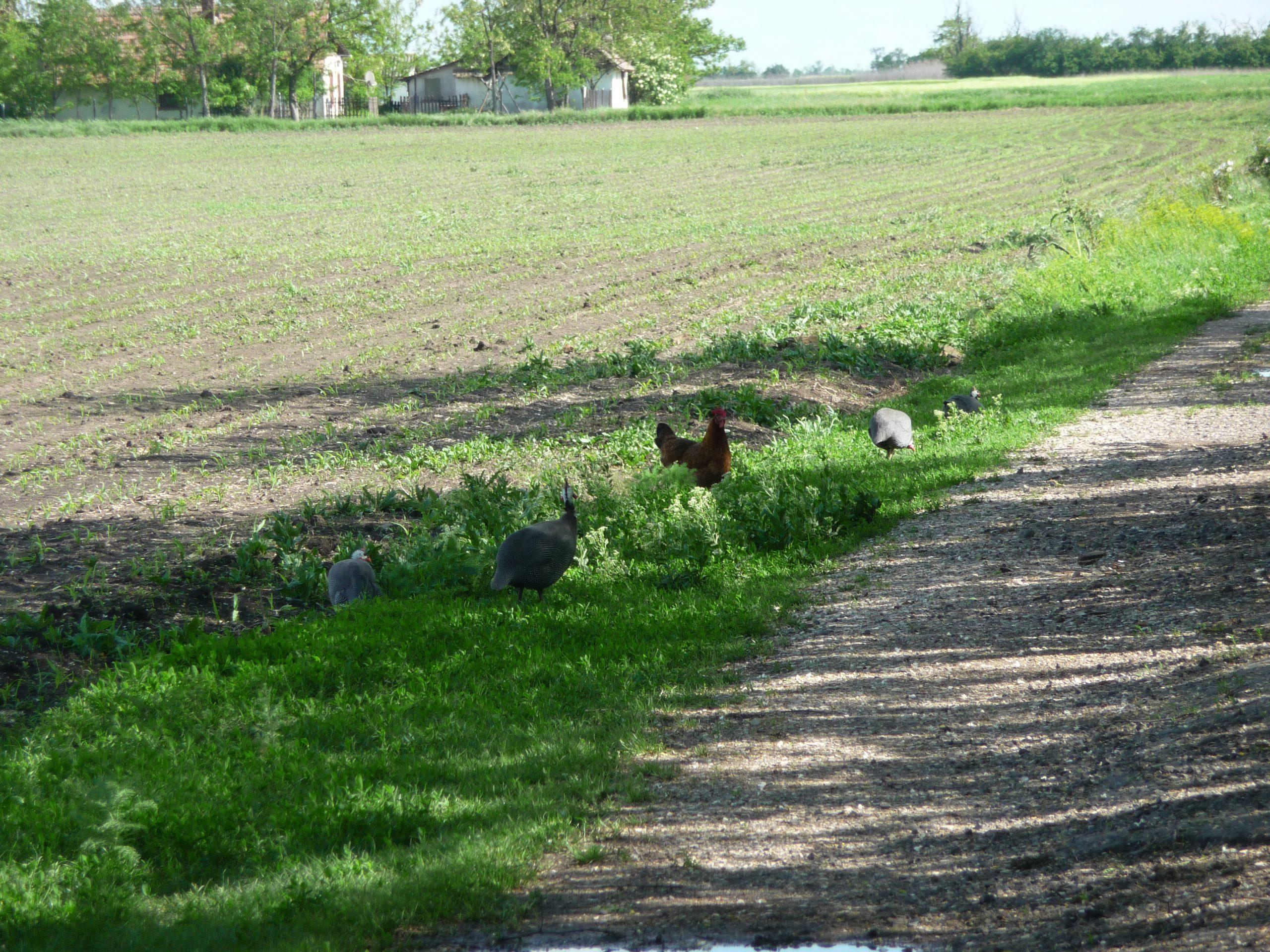 Hühner und Perlhühner in Székkutas